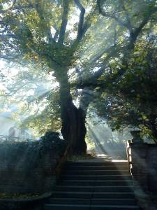 220 éves hársfa